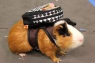 Ett litet marsvin på väg till skolan, kolla ryggan!
